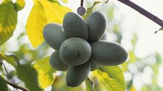 WILD TROPICAL FRUIT IN OHIO AND SURROUNDING STATES!. Tasted my first one this year. In LOVE! The Pawpaw: Foraging For America's Forgotten Fruit