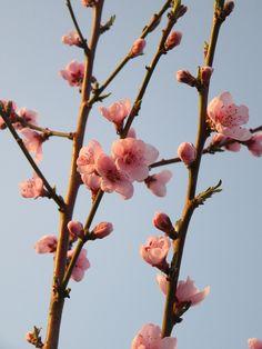 Frühling, Blume, Baum, Zweig, Blüte, Rosa, Äste, Himmel