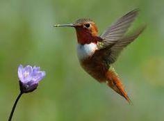 Resultado de imagem para beija flor ruivo