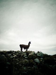 Instagramable llama