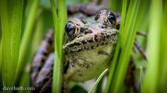 Pickerel Frog (Rana palustris) by DaveHuth, via Flickr