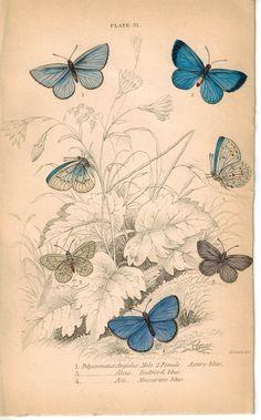 Azure, Bedford and Mazarine Blue Butterfly 1835 Jardine Duncan Antique Print