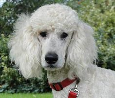 Elevage royal - Accueil Dogs, Animals, Poodles, Animales, Animaux, Pet Dogs, Doggies, Animal, Animais