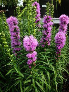 Liatris Deer Resistant Garden, Rose Bush, My Flower, Nebraska, Perennials, Beautiful Flowers, Camping, Gardening, Make It Yourself