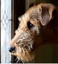 "not Bor, but a ""replica"" of our airedale Tjok.... still miss him so very much"