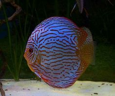 Summary: When one needs to trace tropical reef species he just needs to see the how bright and colored are these fish. They can always improve the sight of an aquarium. Discus Aquarium, Discus Fish, Freshwater Aquarium Fish, Colorful Fish, Tropical Fish, Cool Fish, English Bull Terriers, Beautiful Fish, Ocean Creatures