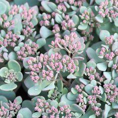 Nome científico: Sedum cauticola. Essa espécie, nativa do Japão, floresce em algumas épocas do ano (Foto: Pinterest/Reprodução)