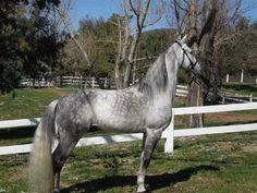 Beautiful. Love Dapples! Ghost, Tennessee Walking Horse.