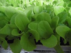 Butterhead Lettuce plant plugs from Lettuce, Plugs, Corks, Salads