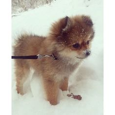 Adorable Pomeranian plays in the snow