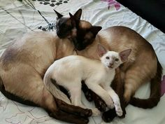 Three little friends . Siamese Kittens, Kittens Cutest, Cats And Kittens, Tabby Cats, Funny Kittens, Bengal Cats, White Kittens, Black Cats, Pretty Cats