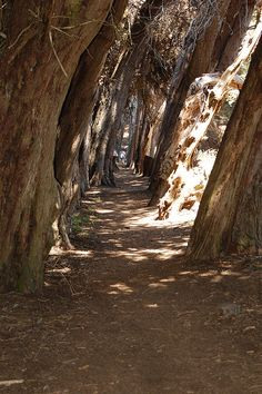 Trees at Sea Ranch, CA   Love love love this trail. A must see