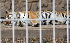 These Endangered Animals Don't Belong at a Roadside Zoo:  A roadside zoo in Pennsylvania came under fire this week for failing to properly care for two endangered species, in addition to dozens of other wild and exotic animals in its care.