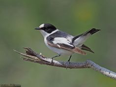Bird : Ficedula albicollis ( Collared Flycatcher - Κρικομυγοχάφτης ) ~ Cyprus Discovery : fauna , flora , villages , churches , flowers , butterlfies , beaches of Cyprus