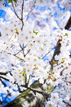 [桜] Cherry Blossoms 2011