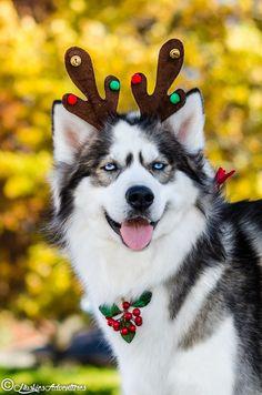 handsomedogs - huskiesadventures: Silly boy.
