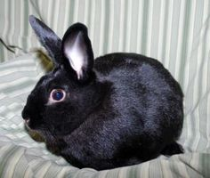 Meet+Elliott,+a+Petfinder+adoptable+American+Rabbit+|+Dayton,+OH+|+Please+don't+let+that+non-descript+black+exterior+fool+you+into+passing+up+one+of+the+sweetest...