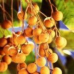 Longan Fruits a.k.a. Dragon Eye