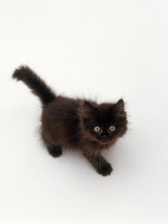 Cute Fluffy Kittens, Cute Cats And Kittens, I Love Cats, Crazy Cats, Kittens Cutest, Pretty Cats, Beautiful Cats, Animals Beautiful, Cute Baby Animals