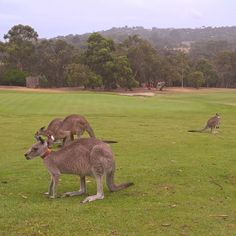 Hello mates! How are you?  #kangaroos #anglesea #golfclubanglesea #australia #greatoceanroad #angleseagolfclub by riannisa162 http://ift.tt/1KosRIg