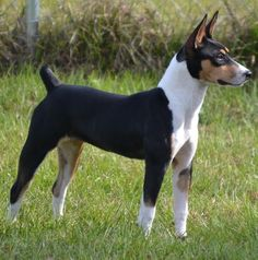 We're getting on the waiting list for a puppy from one of their next litters. Spitfire Deckers - Decker Terriers - Decker Hunting Terriers - Rat Terriers - Florida