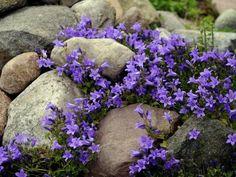 Steingarten mit blühenden Glockenblumen (Campanola spec.)