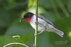 The Sclater's myzomela or scarlet-bibbed myzomela (Myzomela sclateri) is a species of bird in the Meliphagidae family. It is endemic to Papua New Guinea. Its natural habitats are subtropical or tropical moist lowland forests & subtropical or tropical moist montane forests.