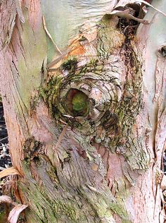 eye of tree  inspiration for PINK Camo