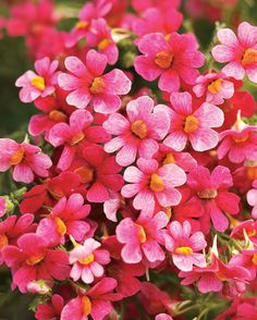 Proven Winners - Juicy Fruits® Watermelon - Nemesia hybrid pink plant details, information and resources. Nemesia Flowers, Dahlias, Container Plants, Container Gardening, Pink Plant, Proven Winners, Garden Whimsy, Juicy Fruit, Verbena