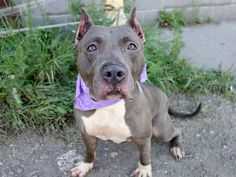 TO BE DESTROYED MONDAY 8/25/14 Brooklyn Center   DALIA - A1010970   FEMALE, GRAY / WHITE, STAFFORDSHIRE MIX, 2 yrs STRAY - EVALUATE, NO HOLD Reason STRAY  Intake condition EXAM REQ Intake Date 08/18/2014, From NY 11691, DueOut Date 08/21/2014,  https://www.facebook.com/photo.php?fbid=858243890855158