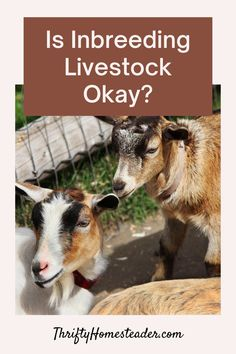 """Is inbreeding livestock okay? They say inbreeding usually creates """"trash or treasure"""" because it concentrates genes. All of your breeding decisions should be made with certain goals in mind — goals for improving your herd or flock. Hospital Architecture, Good Genes, Livestock, Improve Yourself, Homesteading, Animals, Goals, Animales, Animaux"""