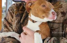 Available for adoption - Rosetta is a female dog, Basenji Mix, located at Puppy Love Rescue in West Bend, WI.