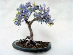Graines de Jacaranda mimosifolia - Flamboyant bleu