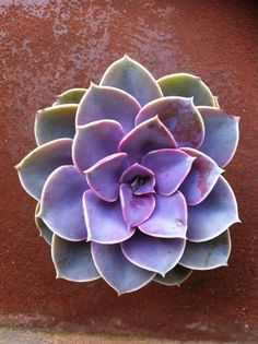 Succulent Plant Purple Echeveria by SucculentOasis on Etsy