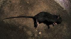 El doctor España, su patrón, había llevado la estricnina a la casa para matar ratas y perros vagos...