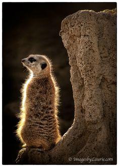 Backlit Meerkat by imagesbylaurie