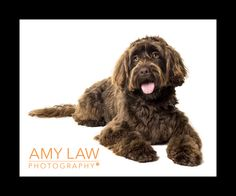 #labradoodle | yorkshire dog photographer