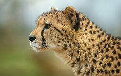 cheetah profile,