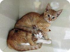 Adopt a Pet :: Photo 1: Dabs - Riverhead, NY -  Domestic ShorthairMix