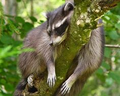 15 Times Animals Climbed a Tree Too High. And Decided to Take a Nap - World's largest collection of cat memes and other animals Raccoon Mask, Cute Raccoon, Racoon, Raccoon Craft, Funny Pictures Images, Animal Pictures, Funniest Pictures, Bing Images, Sleepy
