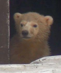 ホッキョクグマの赤ちゃん初めてのお外 ── 天王寺動物園で10日から一般公開   THE PAGE 大阪