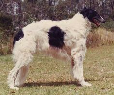 borzoi dog photo | borzoi russian wolfhound years awesome dogs random pic