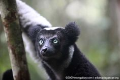 Indri lemur (Indri indri) AKA Ghost People of the Forest