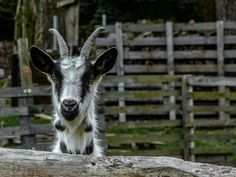 grey-white mountaingoat - Pfauenziege