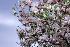 Magnolia, Albero, Primavera, Rosa, Rami Di Magnolia