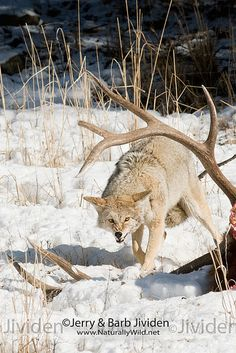 Coyote in snow, Yellowstone National Park