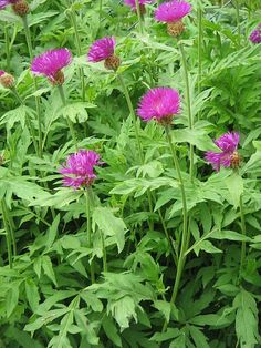 thrives in poor soil and is drought tolerant. Planting Plan, Drought Tolerant, Colour Schemes, Garden Styles, Shrubs, Perennials, Garden Design, Planters, Image