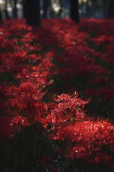 "lifeisverybeautiful: "" Red Spider Lily via PHOTOHITO """