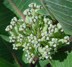 Asclepias Latifolia or Broadleaf Milkweed 10 Seeds   eBay