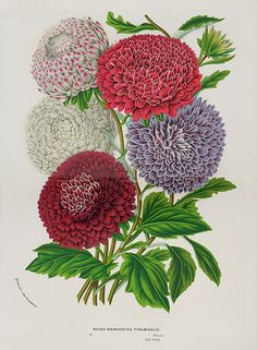 Antique Prints from Louis Van Houtte 1845
